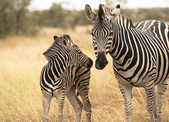 cebras en Kruger National Park Sudafrica