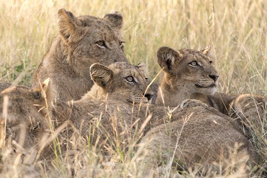 avistar leones en Kruger N.P. safari Sudáfrica