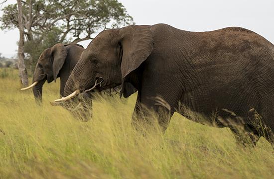 Avistar elefantes en Kruger N.P.
