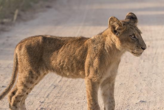 ver crías en Kruger National Park Sudafrica