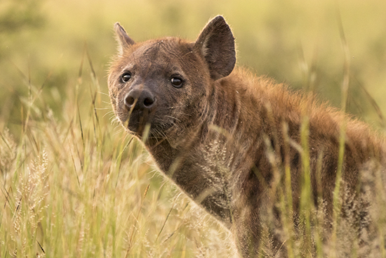 Hienas en Kruger National Park Sudafrica