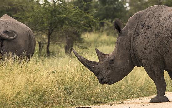 ver rinocerontes en Kruger N.P . safari Sudafrica