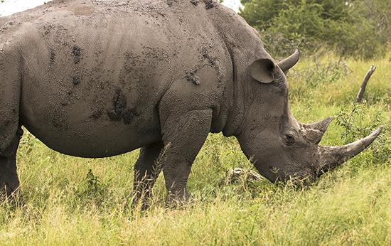 rinocerontes en Kruger N.P.