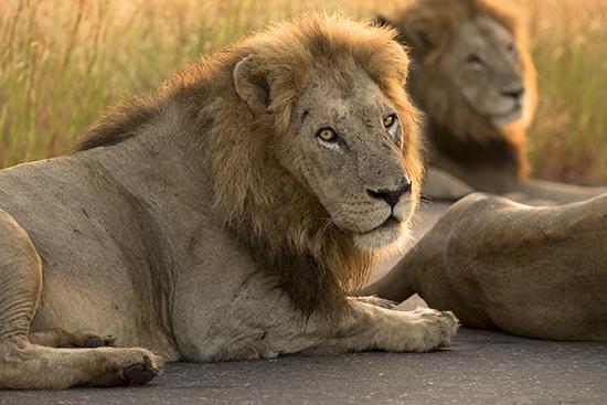 ver leones en Kruger N.P. Sudáfrica