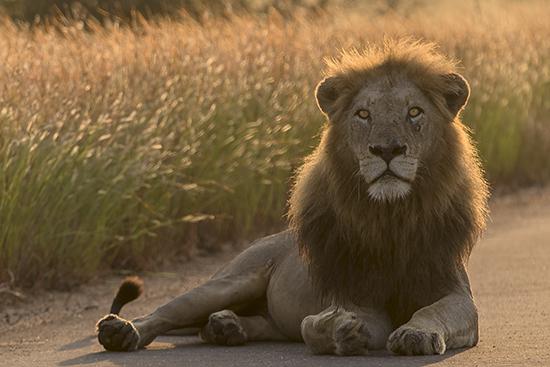 cómo ver leones en Kruger N.P. Sudáfrica