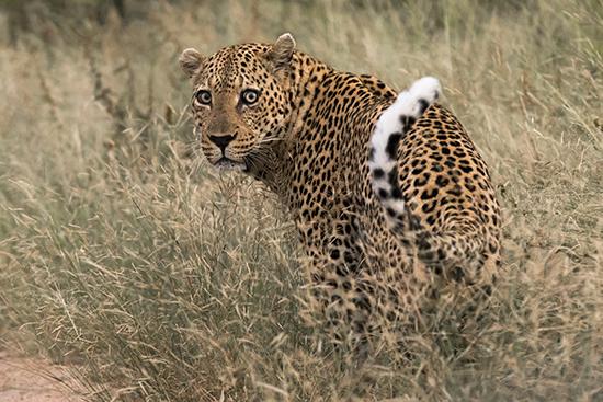 ver leopardos en Kruger N.P. Sudafrica