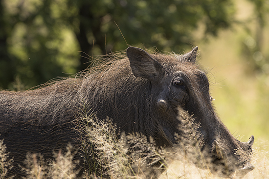 facóceros en Kruger National Park Sudafrica