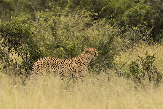 ver cheetahs en Kruger National Park Sudafrica