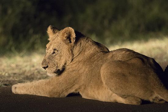 ver leones en Kruger N.P. Sudafrica