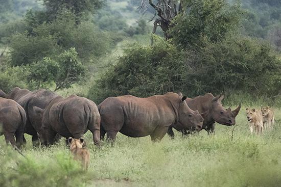 ver leones en Sudáfrica Kruger N.P.
