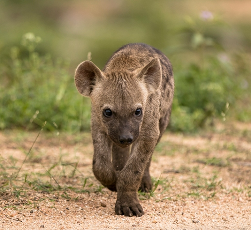 ver hienas de safari en Sudafrica Kruger National Park