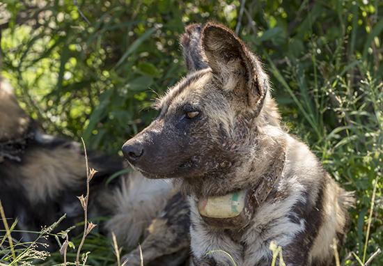 ver perros salvajes en Kruger National Park Sudafrica