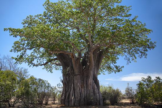 baobabs en Kruger National Park Sudafrica