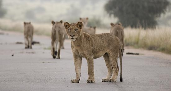 avistar fauna en un safari por Kruger N.P Sudáfrica