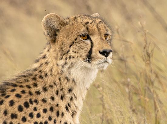 ver guepardos de safari en Kruger National Park Sudafrica