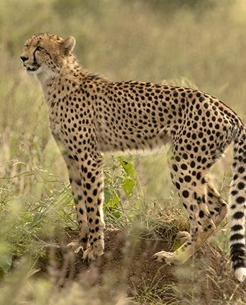 ver guepardos en Kruger National Park Sudafrica