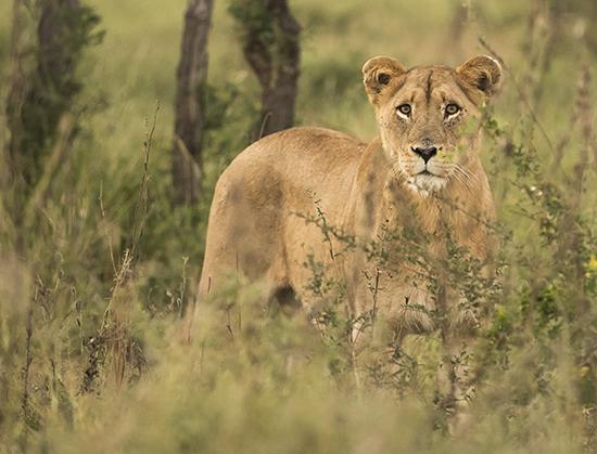 ver leones en Kruger N.P Sudáfrica safari