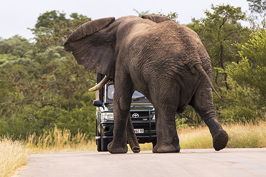 cómo conducir entre elefantes en Kruger N.P.