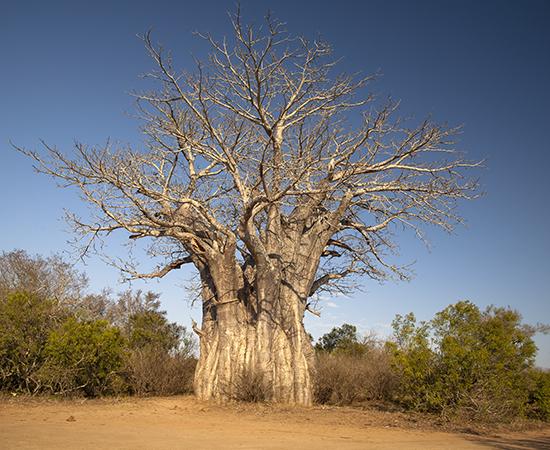 baobab in Kruger Sudafrica