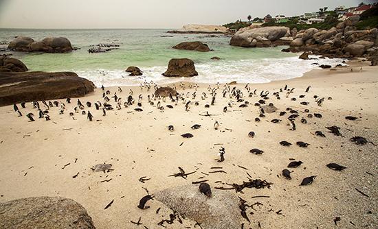 colonia pingüinos en Boulder beach sudafrica