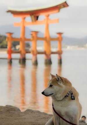 perros en Miyajima island