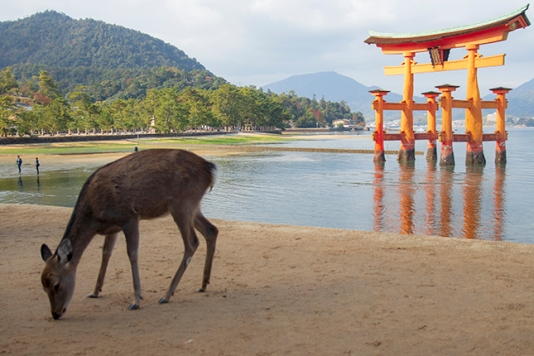 ciervos en Miyajima Japón