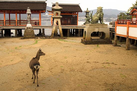 ciervo en la playa Miyajima Japon santuario