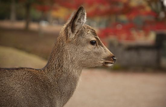ciervo Nara otoño