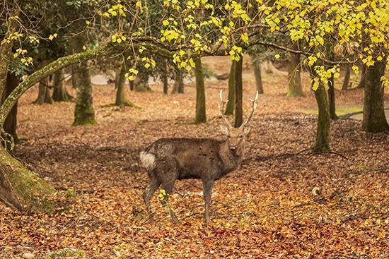 ciervos en Nara Park