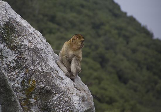Macaco de berbería Gibraltar