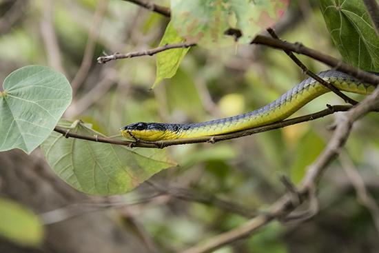 serpientes en Australia