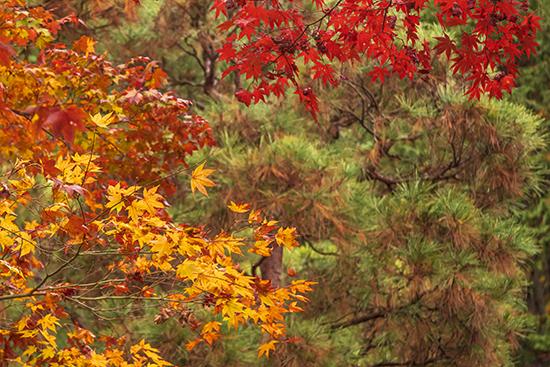 momiji en kioto noviembre