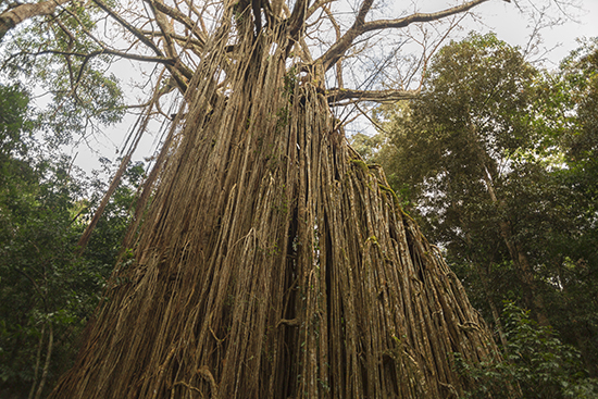 Curtain fig tree Australia Yungaburra