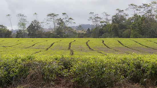 campos de té en Australia