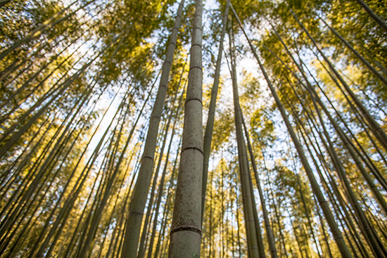 bambu en japon arashiyama kioto
