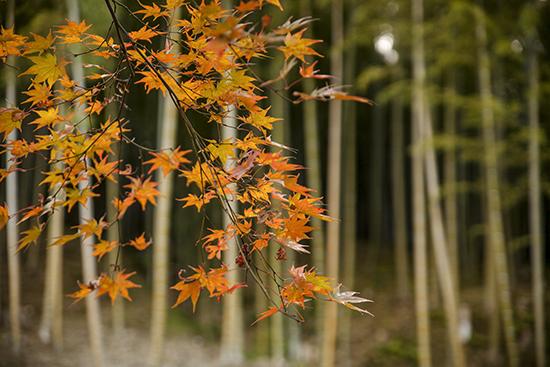 momiji y bambu kioto japon