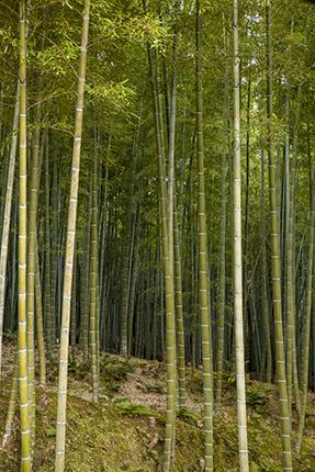 bosque de bambu kioto