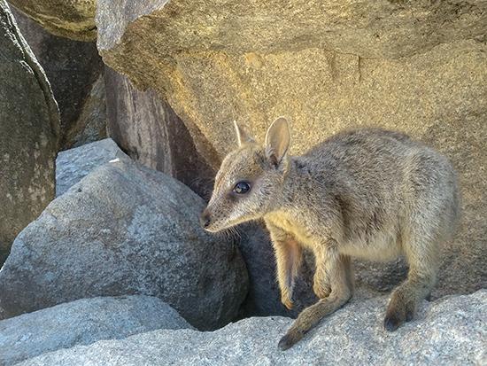 rocks walaby australia