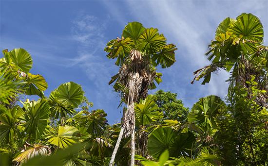 licualas palm australia
