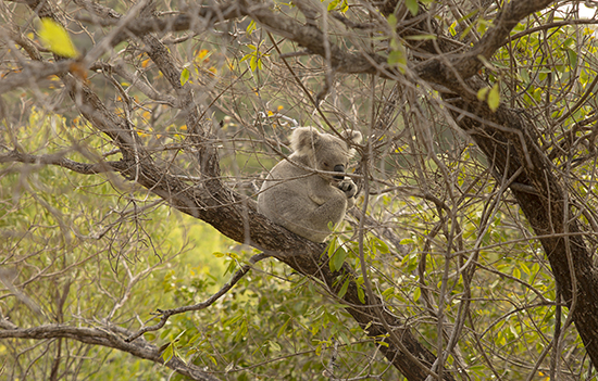 koalas en libertad Magnetic Island National Park