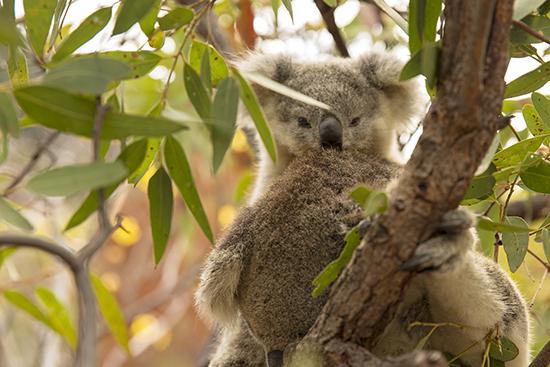 donde ver crías de koalas en libertad en Australia