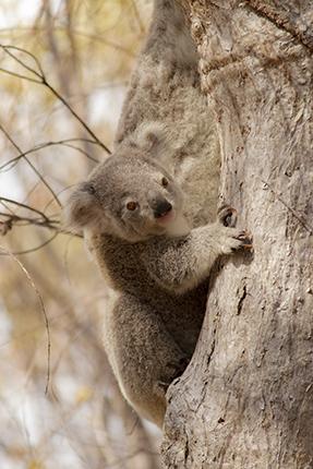 cría de koala en libertad Australia