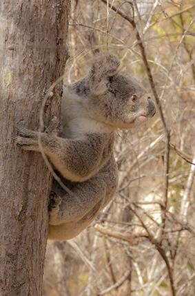 donde ver koalas en libertad Australia
