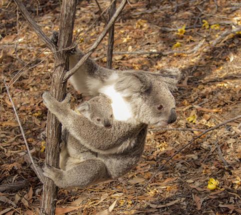 koalas en Magnetic Island Australia