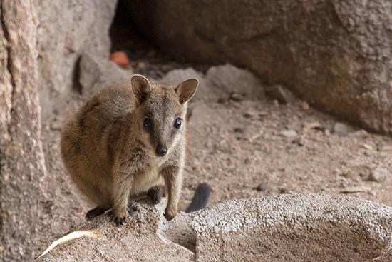 walaby de rocas Magnetic Island Australia