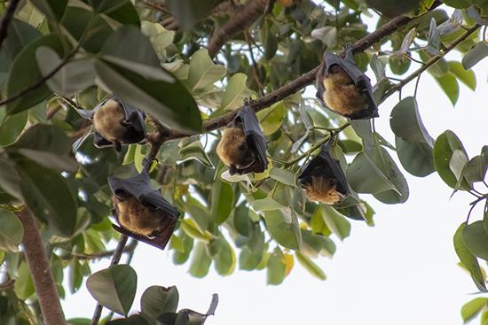 que ver en Cairns murciélagos de la fruta