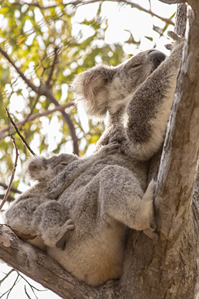 ver koalas en The fort trail Magnetic Island