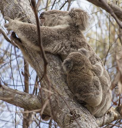 koala en libertad con cría en Australia
