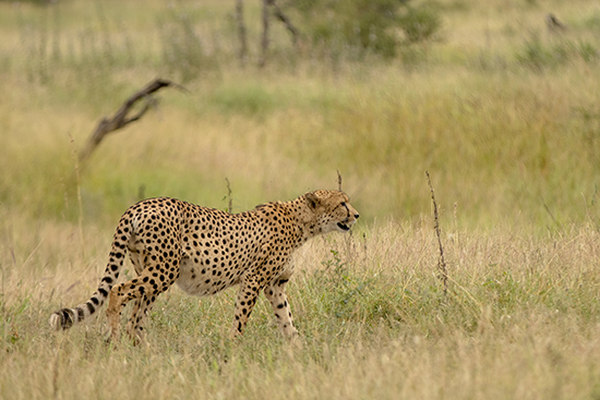 guepardo Satara