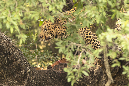Leopardo con impala